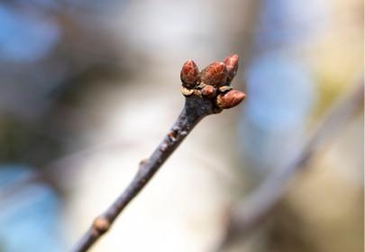 Tout savoir sur le bourgeon de la vitalité : le chêne !